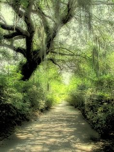 Plantation Moss, Charleston S.C.