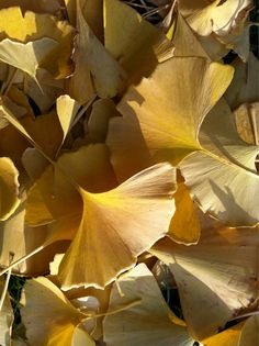 Ginkgo biloba .,.leaves in fall color from Cheek wood's Japanese Garden (I just: liked the picture)