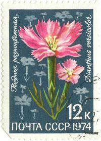 Dianthus versicolor. The Mail USSR, 1974