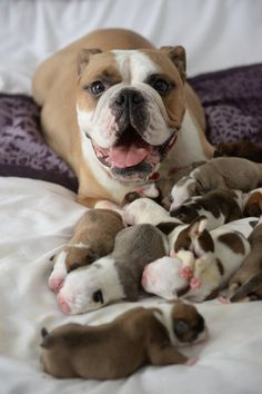 Juma the bulldog gives birth to 14 cute puppies and is very happy