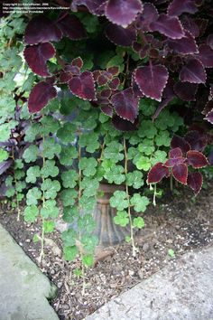 PlantFiles Pictures: Creeping Bramble, Creeping Raspberry, Creeping Rubus, Crinkle-leaf Creeper (Rubus pentalobus) by KevinReiner Red Fruit, Bramble, Creepers, Evergreen, Container Gardening, Shrubs, White Flowers, Perennials, Perennial
