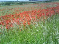 Field of poppies near Warkworth