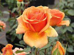 Edelrose Ashram ® Züchter Rosen Tantau 1998
