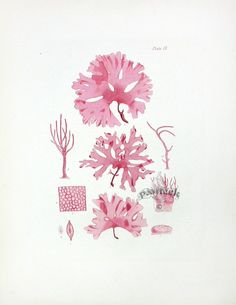 Harvey Seaweed Prints 1846-1851 Joo Joo, Watercolor Ocean, Sea Dweller, Fair Games, Sea Art, Seaweed, Natural History, Illustrations, Ephemera
