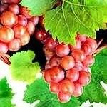 Catawba Bunch Grape Vine, Grape Vines, Free  Grape Vine Video, Low Grape Vine Price
