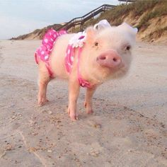 Prissy is rocking her cute pink bikiny. This pig is on point! Cute Baby Pigs, Cute Piglets, Baby Piglets, Cute Little Animals, Cute Funny Animals, Cute Dogs, Photo Animaliere, Mini Pigs, Mini Teacup Pigs