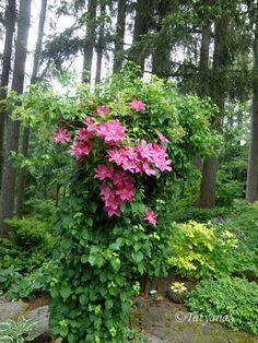MySecretGarden: Enchanted Garden Of A Hosta Hybridizer