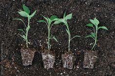 Bell Pepper Seedlings Waiting To Be Planted by KelliSeegerKim   Stocksy United