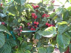 BLACKBERRY PLANTS --
