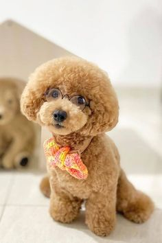 The poodle is a beautiful, intelligent dog, but that doesn't mean you should rush out and buy one. It takes dedication to properly care for your puppy, from grooming to training. Here are 10 tips for poodle puppy care before you bring home your new pet. #poodlepuppy #poodlepuppytraining #poodlepuppies #cutepoodlepuppies #dogsandpuppiespoodle #dogsandpuppies #cutedogs Poodle Mix Puppies, Dogs And Puppies, Puppy Care, Cute Dogs, Teddy Bear, Pets, Animals, Poodles, Training