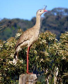 Foto seriema (Cariama cristata) por Claudia Godoy | Wiki Aves - A Enciclopédia das Aves do Brasil