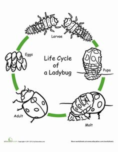 1000 images about ladybugs on pinterest life cycles life cycle stages and insects. Black Bedroom Furniture Sets. Home Design Ideas