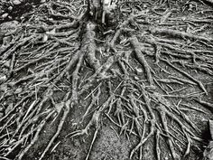 Roots #tree #roots # nature #blackandwhite