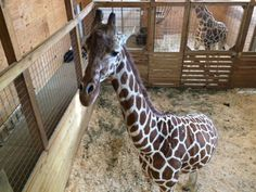 Animal Adventure Park in Harpursville will welcome a baby giraffe into the world very soon. Their 15-year-old giraffe April is carrying the calf, and she's expected to go into labor at any moment now. Camille DeLongis has more with the man who's leading the birth Jordan Patch -- the owner of Animal Adventure.