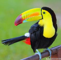 Colored Toucan. Keel Billed Toucan, from Central America