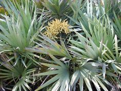 Silver Saw Palmetto Tree The Silver Saw Palmetto is a natural mutation of the green saw palmetto. This variety is rare and there are not enough in production to sati...