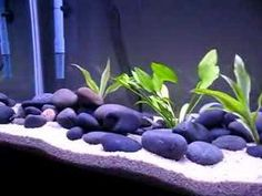55 gallon #goldfish #aquarium #fresh water