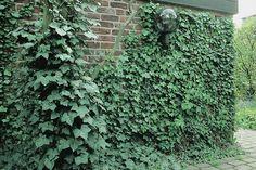 hedera colchica 39 dentata variegata 39 ivy interieur pinterest garten efeu und pflanzen. Black Bedroom Furniture Sets. Home Design Ideas