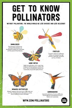 Monarchs, Bees, and other Pollinators are responsible for 1 out of 3 bites of food we humans eat — yet their habitat is shrinking and many species are in danger. See how you can help protect pollinators in your own back yard. Organic Gardening, Gardening Tips, Indoor Gardening, Container Gardening, Indoor Plants, Bee Friendly, Beneficial Insects, Save The Bees, Bees Knees