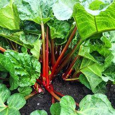 Rhubarb 101