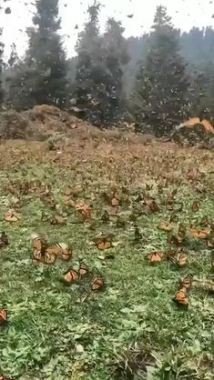 Butterfly Migration Help the Monarch Butterfly population by planting Milkweed in your garden!The Garden The Garden or The Gardens may refer to: Nature Animals, Animals And Pets, Funny Animals, Cute Animals, Beautiful Creatures, Animals Beautiful, Animals Amazing, Monarch Butterfly Migration, Butterfly Pictures