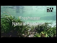 The Freshwater Natural Aquarium Documentary shows freshwater tropical aquarium fish in the wild, Available in HD, DVD and Bluray at www.mikolji.com Your aquariums and vivariums in the wild!
