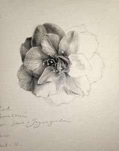 Dianne Sutherland Day 12 Unfinished Camellia Drawing Plus Some Graphite Tips