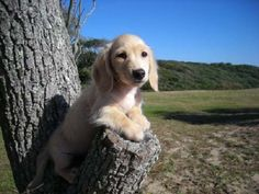 The ultimate. an English Cream Longhaired Dachshund! Dachshund Gifts, Dachshund Puppies, Dachshund Love, Baby Puppies, Cute Puppies, Dogs And Puppies, Golden Dachshund, Super Cute Animals, Cute Baby Animals