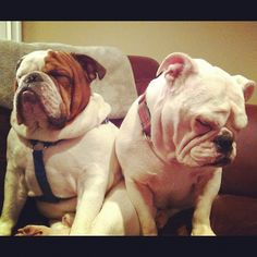 sleeping sitting up...  such bulldogs!