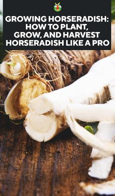 Growing Horseradish: How to Plant, Grow, and Harvest Horseradish Horseradish Plant, Growing Horseradish, Homemade Horseradish, Horseradish Recipes, Easy Garden, Edible Garden, Garden Ideas, Organic Vegetables, Growing Vegetables