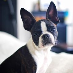 """Gösta the Boston Terrier on Instagram: """"Gösta bids you good night and see you all tomorrow"""""""