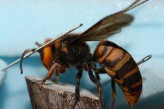 Most Deadliest Animals Asian Hornet