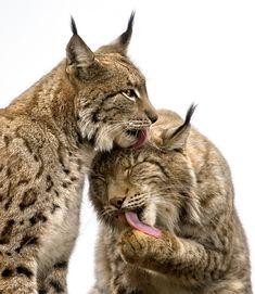 Lo:  El lince ibérico (Lynx pardinus) es una especie de mamífero carnívoro de la familia Felidae, endémico de la Península Ibérica( España ). Actualmente sólo existen dos poblaciones en Andalucía aisladas entre sí con un total de algo más de 300 individuos en aumento,3 más otra en los Montes de Toledo de unos quince individuos y por ello escasamente viable, lo que lo convierte en el felino más amenazado del mundo