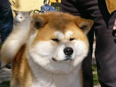 Very nice Akita Inu Sam photo and wallpaper. Beautiful Very nice ...