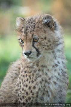 Young Cheetah Male 182 14f by Haywood-Photography on DeviantArt