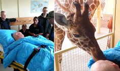 The moment a giraffe gives dying zoo worker a kiss goodbye