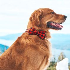 A red plaid bowtie dog collar, The Jackson Collar by Knox Dogwear. Cute dogs love this red luxury dog collar! #dogs #goldenretrievers #puppy #dogcollar #dogaccessories