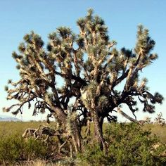 Joshua Tree in Arizona.  These look kinda spooky at night.