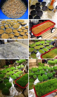 How to grow wheat grass for party centerpieces