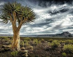 Photograph by © (dominique troch). Quiver tree throning in the Tankwa Karoo landscape. Quiver, Planet Earth, South Africa, Planets, Photograph, Outdoors, Mountains, Landscape, Nature