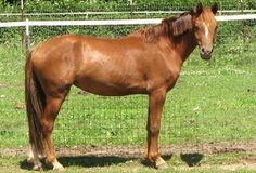 Welara pony. A tall, refined pony breed originating in England, but now most popular in North America. It was developed from breeding Arabian stallions to Welsh pony mares.