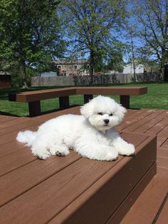 what a gorgeous coat on this young Bichon Baby Dogs, Pet Dogs, Dogs And Puppies, Maltese Puppies, Doggies, Bichon Dog, Shih Tzu Dog, Animals And Pets, Baby Animals