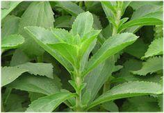 Kräuter-Steckbrief Stevia (Stevia rebaudiana) - Eigenschaften und Verwendung