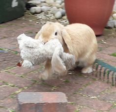Bunny likes to bring his stuffed bunny with him in case of a snuggle emergency.