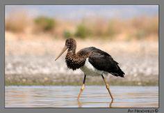 Black Stork - Photo by Avi Hirschfeld