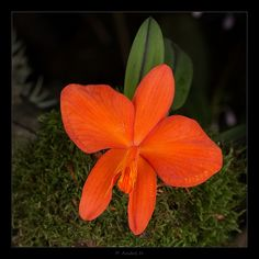Orchid: Sophronitis coccinea - Flickr - Photo Sharing!
