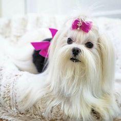 Such a pretty Maltese