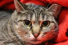 Petango.com – Meet Taylor, a 2 years Domestic Shorthair / Mix available for adoption in Hagerstown, MD