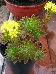 Aeonium x barbatum is a hybrid of Aeonium spathulatum and Aeonium simsii, which is compact and clump forming and very free flowering. Succulents In Containers, Succulent Plants, Cacti And Succulents, Planting Succulents, Cactus, Ancient Greek Words, Super Natural, Canary Islands, Container Gardening