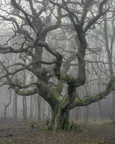 unnamed oak I in winter mist  (Majestic and full of character the mighty English Oak. Many of the oaks in Savernake Forest have been named, not this one though for some reason, maybe as it's tucked out of sight of the normal routes.)